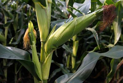 hnews_adv_GMOs_Corn_02