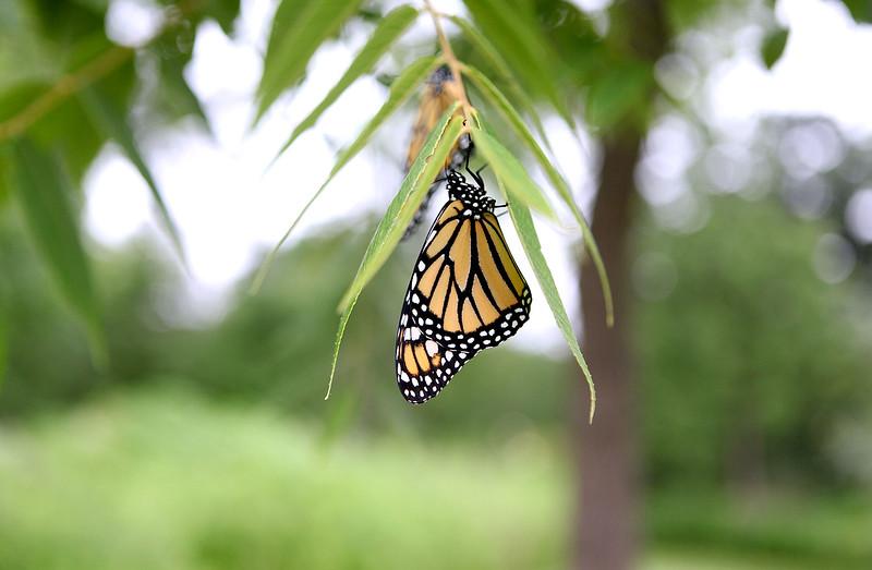 knews_adv_Monarchs2