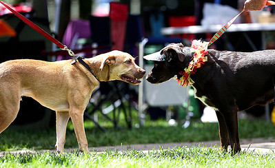 Gracie, right, a 2-year-old chocolate lab, greets another dog during the second annual Bark-a-Paw-Looza in Woodstock Square on Sunday, Aug. 21.  John Konstantaras - For Saw Media