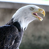 A 16-year-old female bald eagle, born in Alaska, now with SOAR (Save Our American Raptors), keeps an on crowd during a Bald Eagle Show at Peck Farm Park in Geneva on Aug. 28.
