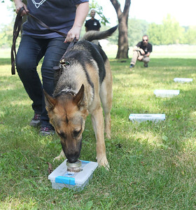 Candace H. Johnson-For Shaw Media Maria Christiansen, of Kenosha, Wis., trains her dog, Oso, a two-year-old German Shepherd, in identifying human remains in a scent box during Disaster Dogs of Illinois training at the Lakewood Forest Preserve in Wauconda. Oso is a possible candidate in training to become a cadaver dog for Disaster Dogs of Illinois. (8/12/18)