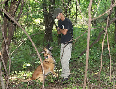 Candace H. Johnson-For Shaw Media Mikey Hernandez, of Cary, K-9 handler, acting as a victim, works with Ivan, a Belgian Malanois, also an urban search and rescue dog, on a run and hide training exercise during Disaster Dogs of Illinois training at the Lakewood Forest Preserve in Wauconda. (8/12/18)