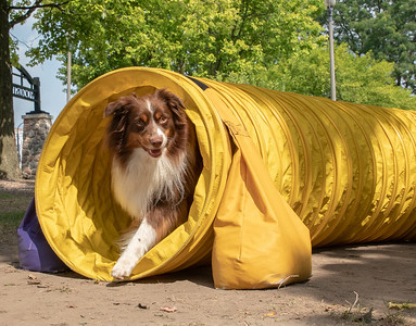 Cory, a 4yr old Miniature Australian Shepherd, runs through the tunnel at the Wag Agility Group booth Sunday, August 19, 2018 at the 4th annual Bark-a-Paw-Looza fundraiser held at the square in Woodstock.  KKoontz – for Shaw Media