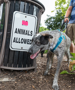 Pike, a nine month old Cattle dog, seems to enjoy the policy change at the Woodstock Square Sunday, August 19, 2018 during the 4th annual Bark-a-Paw-Looza fundraiser. This annual fundraiser, held in Woodstock, helps to support local families in need with caring for their furry family members.   KKoontz – for Shaw Media