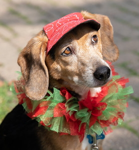 Ceecee, a 13 year-old beagle, models the latest in fashion Sunday, August 19, 2018 during the 4th annual Bark-a-Paw-Looza fundraiser. This annual Woodstock fundraiser helps to support local families in need with caring for their furry family members.   KKoontz – for Shaw Media