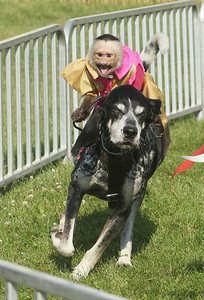 Candace H. Johnson-For Shaw Media Gilligan, a capuchin monkey, rides Scooby Blue in the Banana Derby Race during the Lake County Fair at the Lake County Fairgrounds in Grayslake. (7/25-7/28/19)