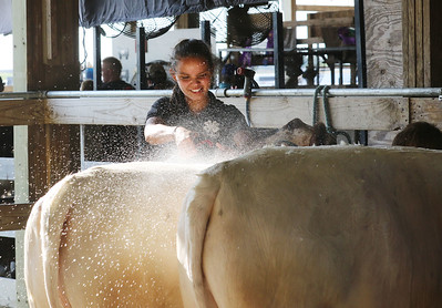 Candace H. Johnson-For Shaw Media Ryann Ray, 18, of Mundelein washes her crossbred cows during the Lake County Fair at the Lake County Fairgrounds in Grayslake. (7/25-7/28/19)