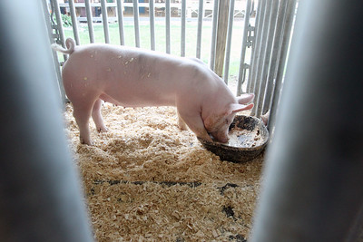 Candace H. Johnson-For Shaw Media A Yorkshire pig from the Beelow Farm in Mundelein drinks some water in her pen during the Lake County Fair at the Lake County Fairgrounds in Grayslake. (7/25-7/28/19)