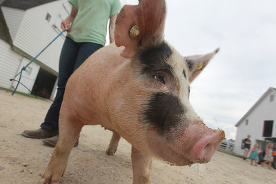 Candace H. Johnson-For Shaw Media Isabella Yarc, 13, walks one of her pigs at Yarc Farms in Libertyville. (8/1/20)