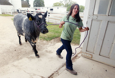Candace H. Johnson-For Shaw Media Isabella Yarc, 13, walks her steer named, Levi, back to the barn at Yarc Farms in Libertyville. Levi weighed 1300 lbs. and was sold during the 2020 Lake County Fair Virtual Livestock Auction. (8/1/20)