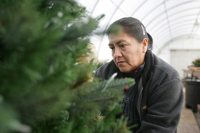 Monica Maschak - mmaschak@shawmedia.com Greenhouse associate Luz Padilla works on a customer's artificial Christmas Tree to try to fix the lights in a Countryside greenhouse on Tuesday, December 11, 2012.  The flower shop sells pre-lit artificial and real Christmas trees.