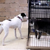 Moo Moo, a rescue dog, sniffs at a rescue cat at Critters Pet Shop in St. Charles. Both animals are available for adoption at the shop.