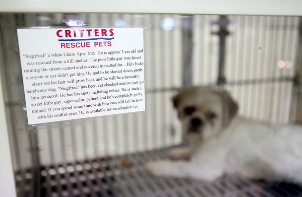 Siegfried, a rescue dog, is available for adoption at Critters Pet Shop in St. Charles.