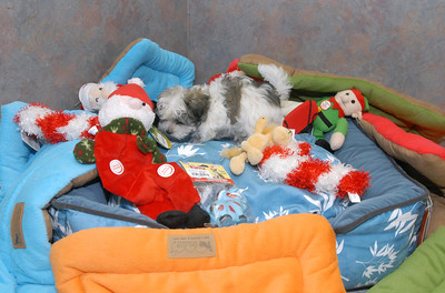 This Havanese puppy is exploring some of the variety of pet gift options at Critters Pet Shop in St. Charles. Staff photo by Bill Ackerman