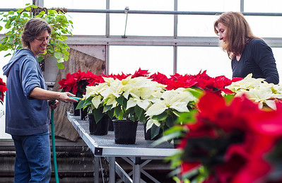 Kyle Grillot - kgrillot@shawmedia.com   Horticulture student Mandy Hood of Wonder Lake and Horticulture Assistant Betty Carmen prepare 400 poinsettias Monday inside the greenhouse at McHenry County College (MCC). The horticulture and ceramics students will be teaming up for a ceramic and poinsettia sale on Tuesday, December 3, 2013 in the MCC commons. Pottery created by MCC ceramic students and three colors of poinsettias grown by the horticulture students will be available for sale.