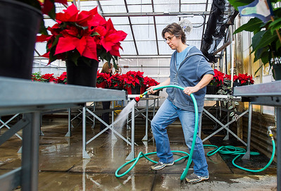 Kyle Grillot - kgrillot@shawmedia.com   Horticulture student Mandy Hood of Wonder Lake waters 400 poinsettias Monday inside the greenhouse at McHenry County College (MCC).  The horticulture and ceramics students will be teaming up for a ceramic and poinsettia sale on Tuesday, December 3, 2013 in the MCC commons. Pottery created by MCC ceramic students and three colors of poinsettias grown by the horticulture students will be available for sale.
