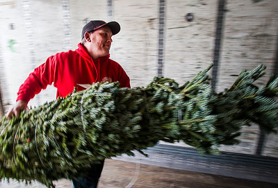 Kyle Grillot - kgrillot@shawmedia.com   Richardson Farm employee Don Stupienski loads a christmas tree onto a truck Monday in Spring Grove. The Richardson's mission is to donate approximately 75 fresh-cut Christmas trees, which will be shipped to American military families at domestic and foreign bases worldwide. While thousands of trees donated to Trees for Troops are donated by American Christmas tree growers such as the Richardsons, individuals can support the program by making donations at participating tree farms or online.