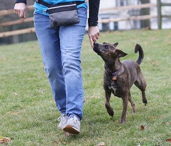 Candace H. Johnson-For Shaw Media Lisa Crowley, executive director and puppy raiser, with Canines 4 Comfort works with Ella, a rescue-mix, on different commands, including the command to heel in the backyard of her home in Grayslake. (12/9/19)