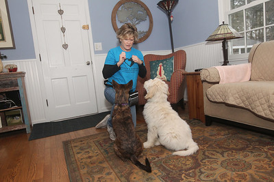 Candace H. Johnson-For Shaw Media Lisa Crowley, executive director and puppy raiser, with Canines 4 Comfort works with Ella, a one-and a half-year-old rescue-mix, and Krieger, a fourteen-week-old, Goldendoodle on staying focused as she hold treats for them in her hands at her home in Grayslake. (12/9/19)