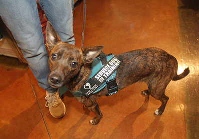 Candace H. Johnson-For Shaw Media Lisa Crowley, executive director and puppy raiser, with Canines 4 Comfort walks Ella, a one-and-a-half-year-old, rescue-mix wearing a Service Dog in Training vest through Bass Pro Shops in Gurnee Mills to introduce new environments to the dog for desensitization.(12/9/19)