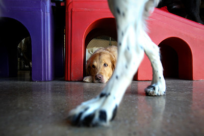 Jenny Kane - jkane@shawmedia.com Sammi, a golden retriever rests under a play structure while other dogs run and play at Camp Bow Wow.