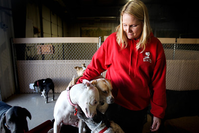 Jenny Kane - jkane@shawmedia.com Tammy McDonnell, employee at Camp Bow Wow, watches her dog Gypsy play with the other dogs. McDonnell brings her dog to work three times a week. Gypsy gained weight after having under went leg surgery and later diagnosed with heart worms and received treatment. Gypsy sheds the weight by playing and exercising at the camp.