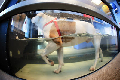 """Daniel J. Murphy - dmurphy@shawmedia.com  A two year-old American Bulldog named """"Slurpy"""" exercises on an  underwater treadmill Saturday February 11, 2012 at Animal Emergency of McHenry County in Crystal Lake. The underwater treadmill provides a controlled exercise environment that reduces stress to joints."""