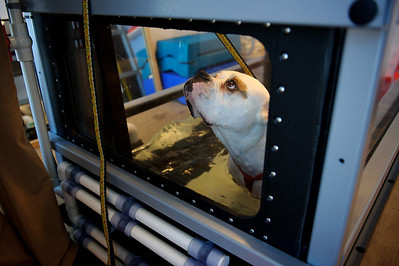 """Daniel J. Murphy - dmurphy@shawmedia.com  A two year-old American Bulldog named """"Slurpy"""" looks towards Danielle Swanson during his weight loss session on a underwater treadmill Saturday February 11, 2012 at Animal Emergency of McHenry County in Crystal Lake."""