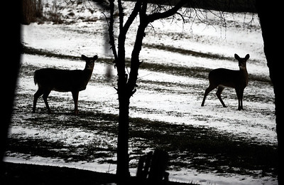 Sarah Nader - snader@shawmedia.com A family of deer hang out in the front yard of a home on Wyndwood Drive in Crystal Lake on Monday, February 13, 2012.