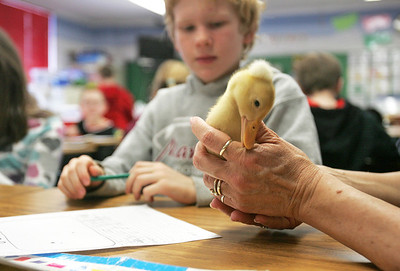 Monica Maschak - mmaschak@shawmedia.com Second grader Logan Miller looks at a little duckling that was brought in to the classroom for Farm Day at Locust School on Friday, February 22, 2013. Students spent the day learning about the shrinking culture of farming with field trips to local farms and fun farm activities.