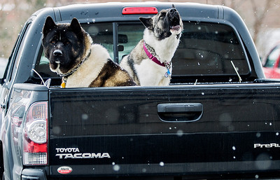 Kyle Grillot - kgrillot@shawmedia.com   Dogs sits chained to the inside of a truck bed as snow begins to fall Saturday, Janurary 8, 2014. Around 3 inches of snow is expected Saturday and temperatures are expected to reach 20 degrees below zero with wind chills on Sunday and Monday.