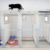 A cat slinks across the top of gated pens in the cat room of the Kane County Animal Control facility in Geneva.