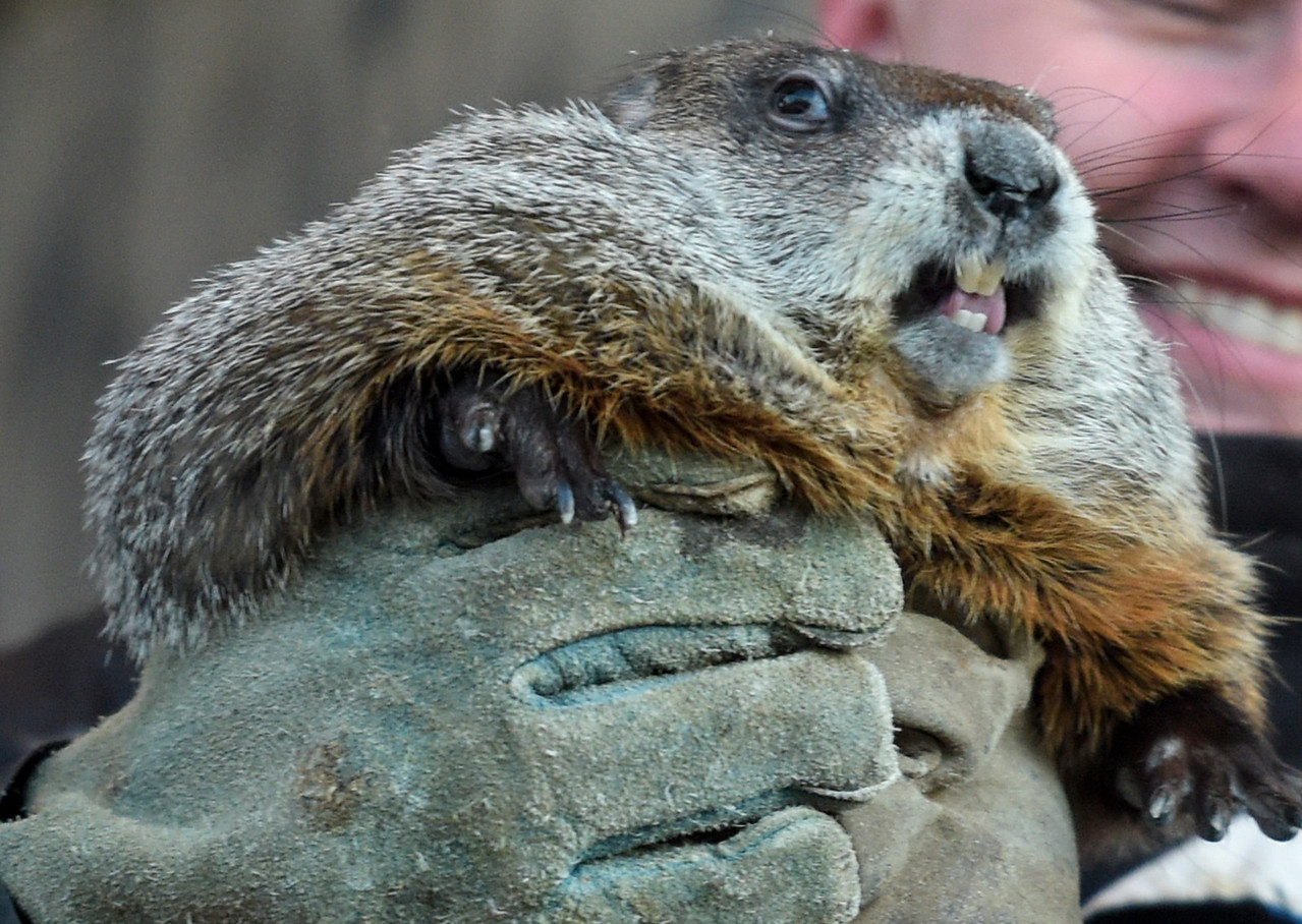 Willie the groundhog is pulled from his tree nest and presented to the crowd on Groundhog Day, February 2, 2017, in Woodstock, Illinois. Just as in the movie a polka band played before presenting Willie.