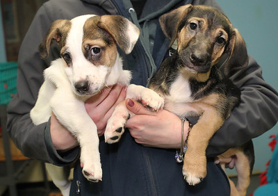 Candace H. Johnson-For Shaw Media Kristi Hahn, of Spring Grove, kennel staff, holds two terrier-mix puppies available for Cuddle-grams which include Knack and her brother, Paddy Whack, at the Save-A-Pet adoption center in Grayslake.Cuddle-grams are available within 35 miles of Save-A-Pet's Grayslake location. All adoption fees are half-off at Save-A-Pet, February 9th-10.(2/5/19)