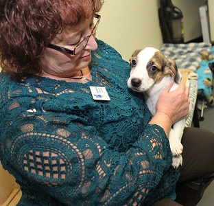 Candace H. Johnson-For Shaw Media Deb Rabine, of McHenry, development coordinator, holds Knack, a three-month-old, terrier-mix available for a Cuddle-gram on Valentine's Day at the Save-A-Pet adoption center in Grayslake.All adoption fees are half-off at Save-A-Pet, February 9th-10.
