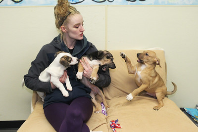 Candace H. Johnson-For Shaw Media Kristi Hahn, of Spring Grove, kennel staff, plays with terrier-mix puppies named, Knack, Paddy-Whack and Knick, available for Cuddle-grams on Valentine's Day at the Save-A-Pet adoption center in Grayslake.Cuddle-grams are available within 35 miles of Save-A-Pet's Grayslake location. (2/5/19)