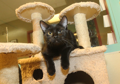 Candace H. Johnson-For Shaw Media A black domestic shorthair kitten named, Donnie Wahlberg, is available for a Cuddle-gram on Valentine's Day at the Save-A-Pet adoption center in Grayslake.Cuddle-grams are available within 35 miles of Save-A-Pet's Grayslake location. (2/5/19)