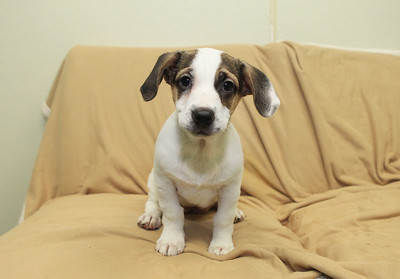 Candace H. Johnson-For Shaw Media Knack, a 3-month old, terrier-mix puppy is available for a Cuddle-gram on Valentine's Day at Save-A-Pet  in Grayslake. Cuddle-grams are available within 35 miles of Save-A-Pet's Grayslake location. All adoption fees are half-off at Save-A-Pet, February 9th-10. (2/5/19)