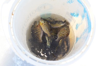 Candace H. Johnson-For Shaw Media Bluegill, perch and crappie fish were put into a bucket after being caught during the Chain O' Lakes Ice Fishing Derby and Winter Festival at Turtle Beach on Channel Lake in Antioch. The event was sponsored by the Northern Illinois Conservation Club. (2/9/19)