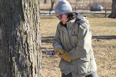 Candace H. Johnson-For Shaw Media Jen Berlinghof, environmental educator, drills a hole into a sugar maple tree to put a spile in it to collect sap from the tree during the Lake County Forest Preserves behind-the-scenes tour of the Maple Syrup Hikes at the Ryerson Conservation Area in Riverwoods. The Maple Syrup Hikes run for three weekends in March: March 7-8, 14-15, 21-22, from 12-2:00 pm. every half-hour. Visitors must register for the event. (2/19/20)