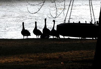 Sarah Nader - snader@shawmedia.com Geese roam around the Fox River in Algonquin on Tuesday, January 3, 2011.