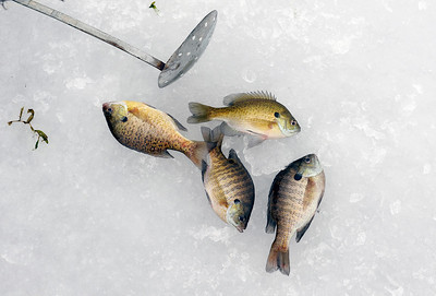 Sarah Nader - snader@shawmedia.com Shawn Forney, 23, of Cary caught four bluegill while ice fishing on Crystal Lake on Thursday, January 26, 2012.