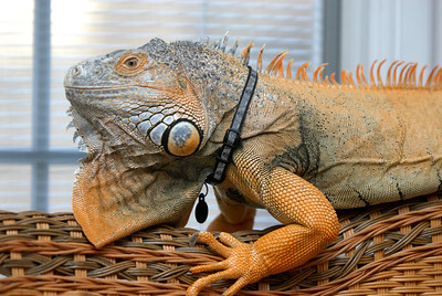Mongo, a green iguana, relaxes on top of a wicker chair on Tuesday, Jan. 22, 2013. Matthew Piechalak— mpiechalak@shawmedia.com.