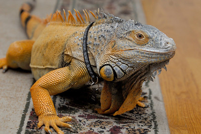 Mongo, a green iguana, walks across a carpet on Tuesday, Jan. 22, 2013. Matthew Piechalak— mpiechalak@shawmedia.com.