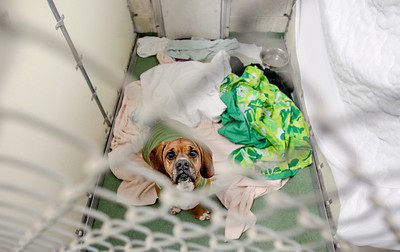 Sarah Nader- snader@shawmedia.com Reggis, a basset hound/boxer mix, is surrounded by blankets while in his kennel at Animal House Shelter in Huntley Monday, December 6, 2014. The boiler that heats the concrete floor at the shelter went out friday, just ahead of the arctic blast. Black Diamond plumbing company donated their services and fixed the problem. The local community also responded by writing checks and donating bedding to keep the dogs and cats warm.