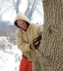 H. Rick Bamman - hbamman@shawmedia.com The Land Conservancy of McHenry County volunteer Ted Thorton of Crystal Lake, makes a second strategic cut with a chain saw on a Box Elder tree while working at the Crowley Sedge Meadow east of Harvard on Wednesday, Jan. 15, 2014.
