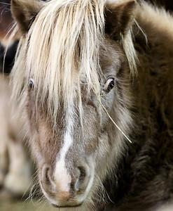 hnews_adv_mini_horses_05