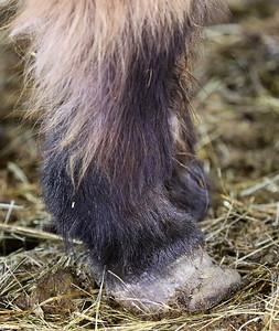 hnews_adv_mini_horses_06