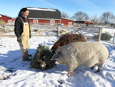 LCJ_111_Lambs_Christmas_Trees_B
