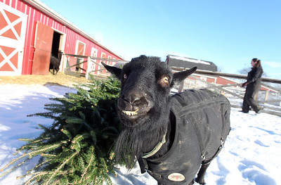 LCJ_111_Lambs_Christmas_Trees_H